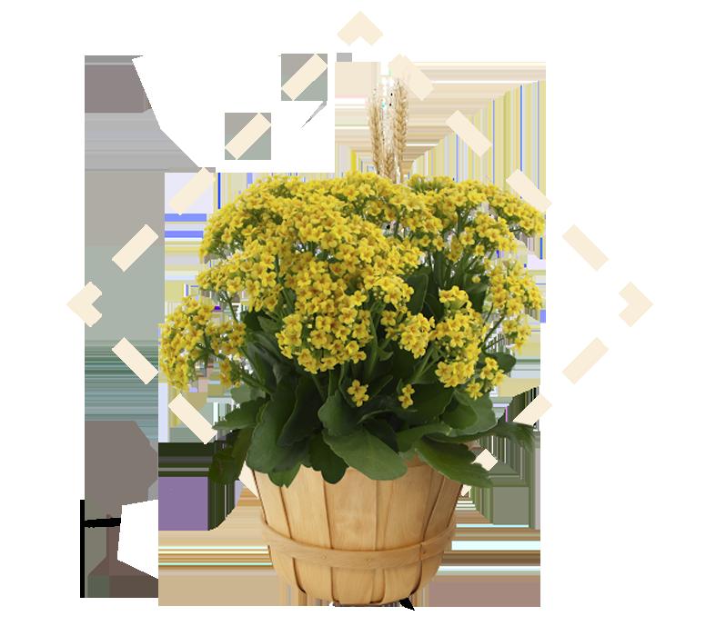Kalanchoe Bushel Basket