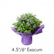 Exacum