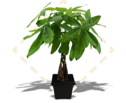 "8"" Money Tree"