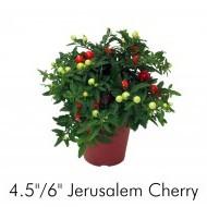 Jerusalem Cherry