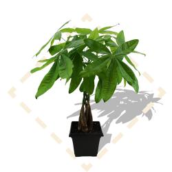 "8"" Money Tree in Leonardo Pot"