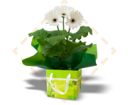 Serene Green and White Gerbera