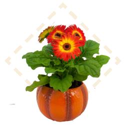 Pumpkin Gerbera