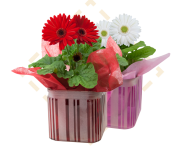 Gerbera & Peppermint Crush