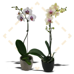 Stone Orchids