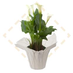 "6"" Calla Lilies"