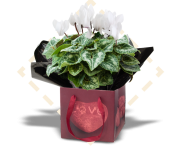 "4.5"" Cyclamen in Precious Heart"