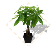 "8"" Money Tree in Leonardo Pot"